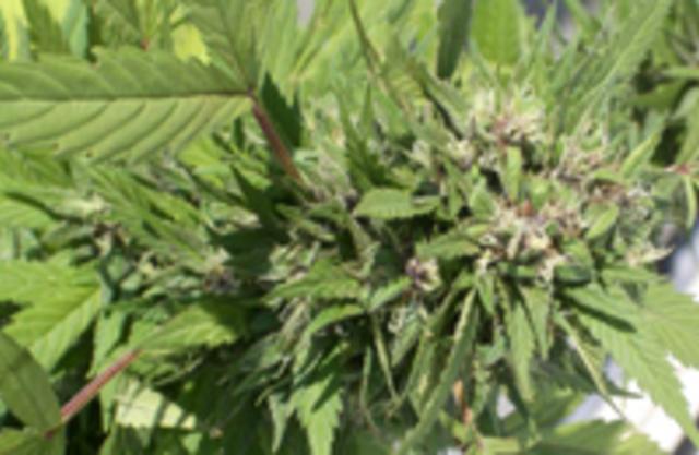 Наркология конопля купить шишки марихуаны в киеве