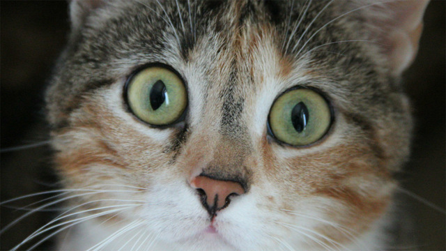 Кот впервые заразился COVID-19. Что необходимо знать