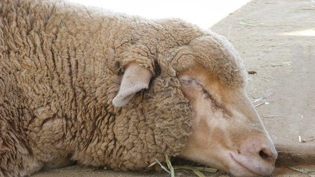 Кетамин полностью «выключил» мозг овец в ходе эксперимента