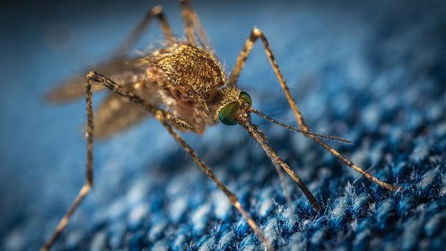 Найден микроб-паразит, защищающий комаров от малярии