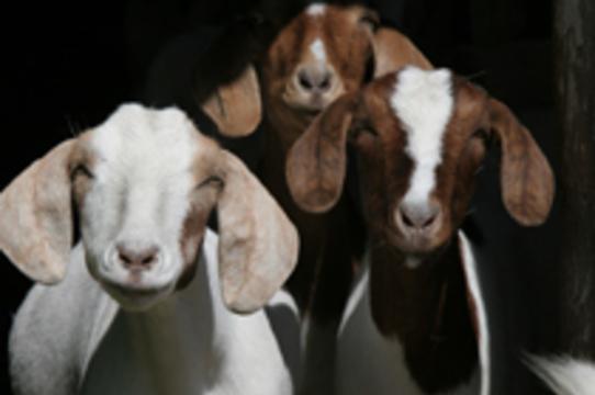 Противоядие от зарина будут [добывать из молока трансгенных коз]