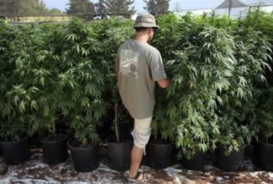 Израиль стал лидером по [применению медицинской марихуаны]