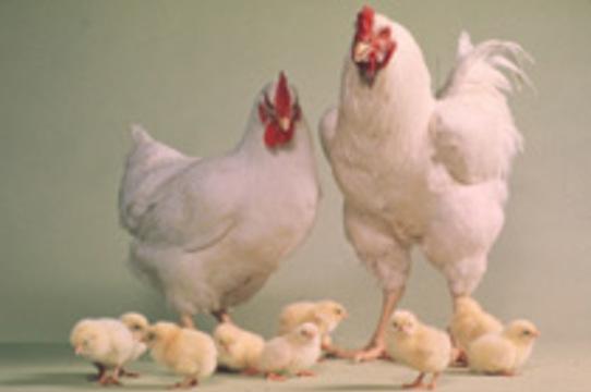 В Турции зафиксированы два случая смерти от птичьего гриппа