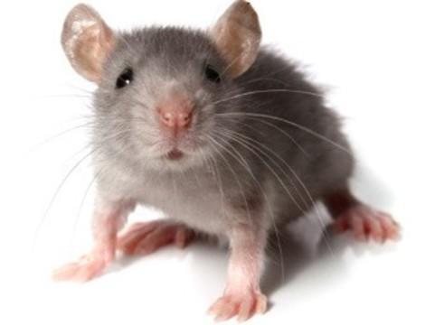 [Ученые перепрограммировали нейроны] в головном мозге живых мышей