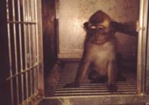 Ученым не хватает обезьян для опытов