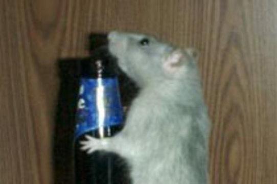 Инъекции в мозг избавили крыс от [тяги к алкоголю]