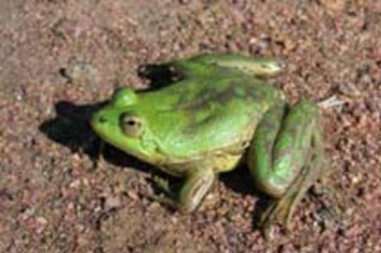 В слизи удивительной лягушки [нашли лекарство от диабета]