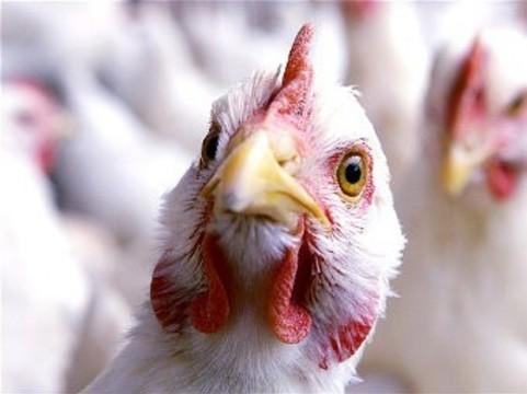 [Китай выделил] 50 миллионов долларов на борьбу с птичьим гриппом