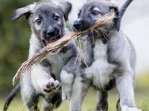 Первые в мире монозиготные щенки родились в ЮАР