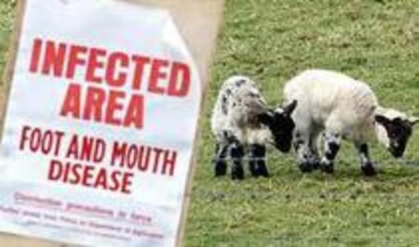 В Великобритании удалось остановить эпидемию ящура