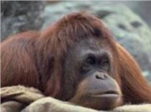 Ученым не хватает лабораторных обезьян
