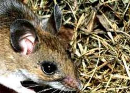 Австралийские генетики случайно изобрели биологическое оружие против мышей