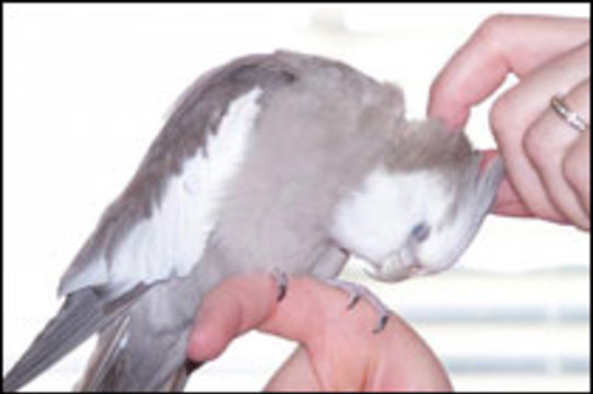 Казахские попугаи заразили жителей Курганской области [неизвестной болезнью]
