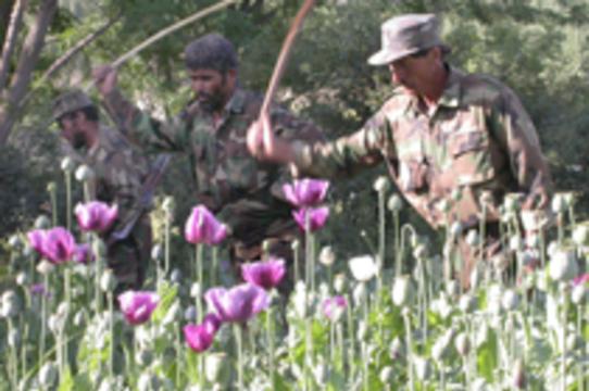 Афганский опиум будут использовать [в медицинских целях]
