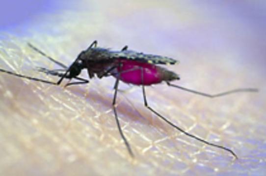 Разносчиков малярии победят [трансгенные москиты]