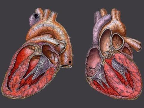 В США впервые пересадили пациенту [стволовые клетки собственного сердца]