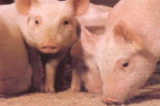 Диабет будут лечить пересадкой клеток поджелудочной железы свиней
