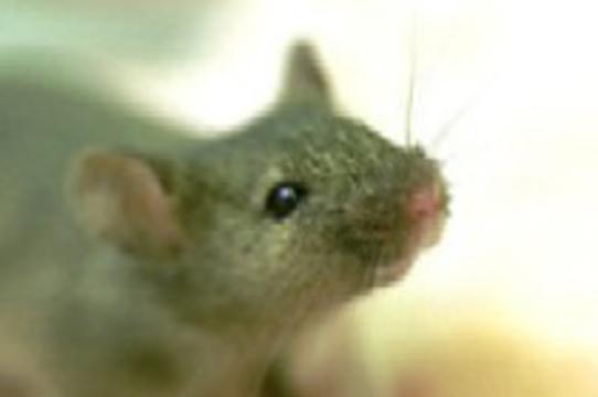 Ученые из США [вернули память мышам] с болезнью Альцгеймера