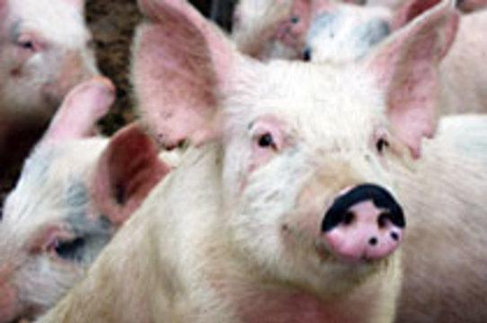 В связи с угрозой свиного гриппа в Египте [уничтожат всех свиней]