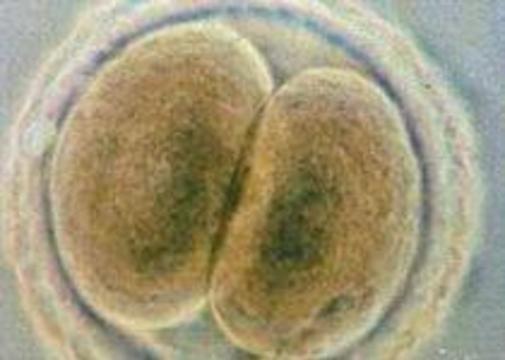 Впервые в Британии клонирован человеческий эмбрион