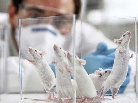Ученые усомнились в применимости [исследований на мышах для человека]