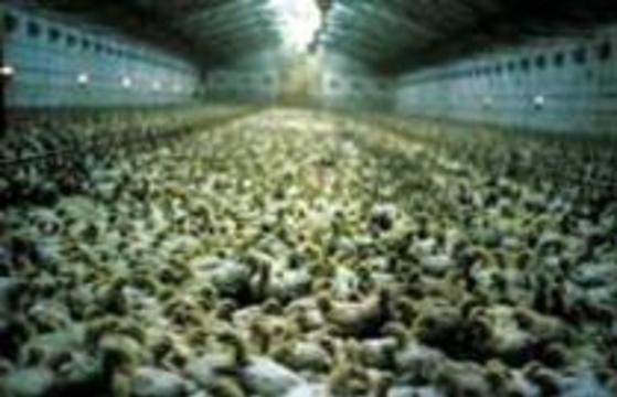 Неизвестный вирус уничтожил полторы тонны живых цыплят