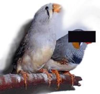 Матери-одиночки - лучшие воспитатели среди птиц