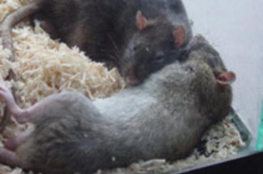 Парализованных крыс [вылечили с помощью стволовых клеток]