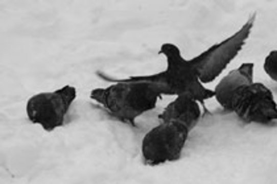 Городские голуби [не способны распространять птичий грипп]