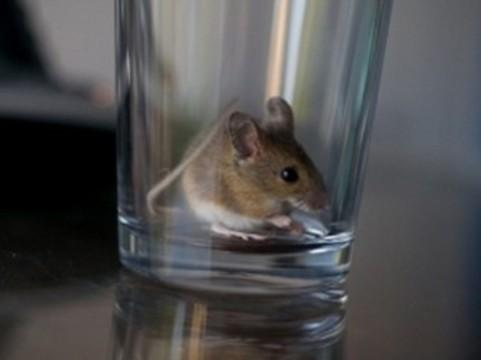У мышей нашли [ген алкоголизма]