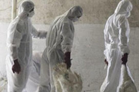 [Птичий грипп] признан главной угрозой безопасности Великобритании