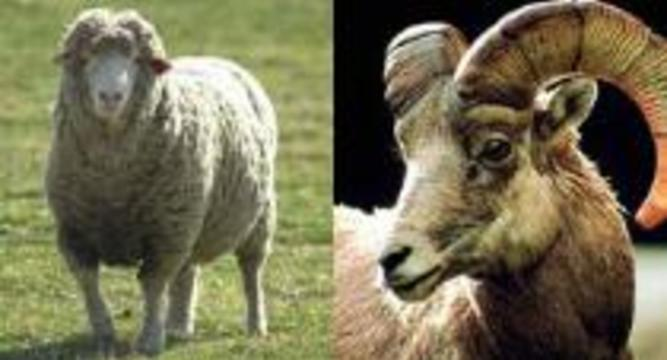 Фотографии родственников успокаивают нервных овец