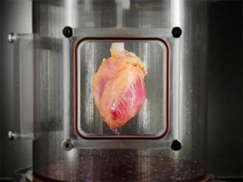 В лаборатории вырастили сердечную ткань