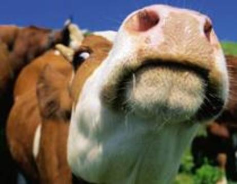 Коровье бешенство добралось до Израиля