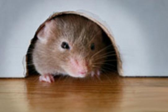 В США вывели [устойчивых к раку мышей]