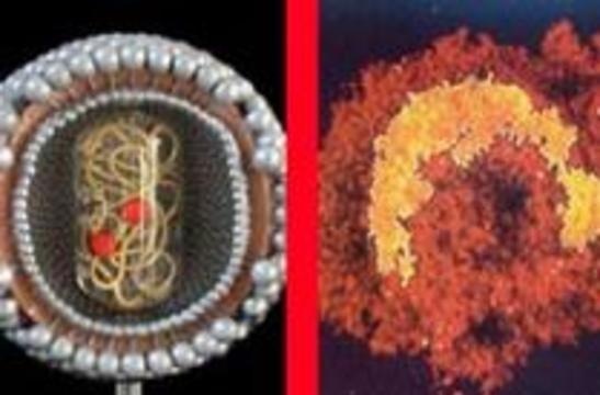 Вирус гепатита G замедляет течение ВИЧ-инфекции