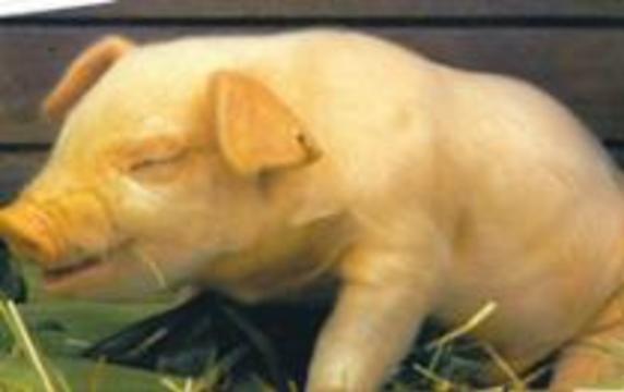 Пересадка свиных органов оказалась безвредной