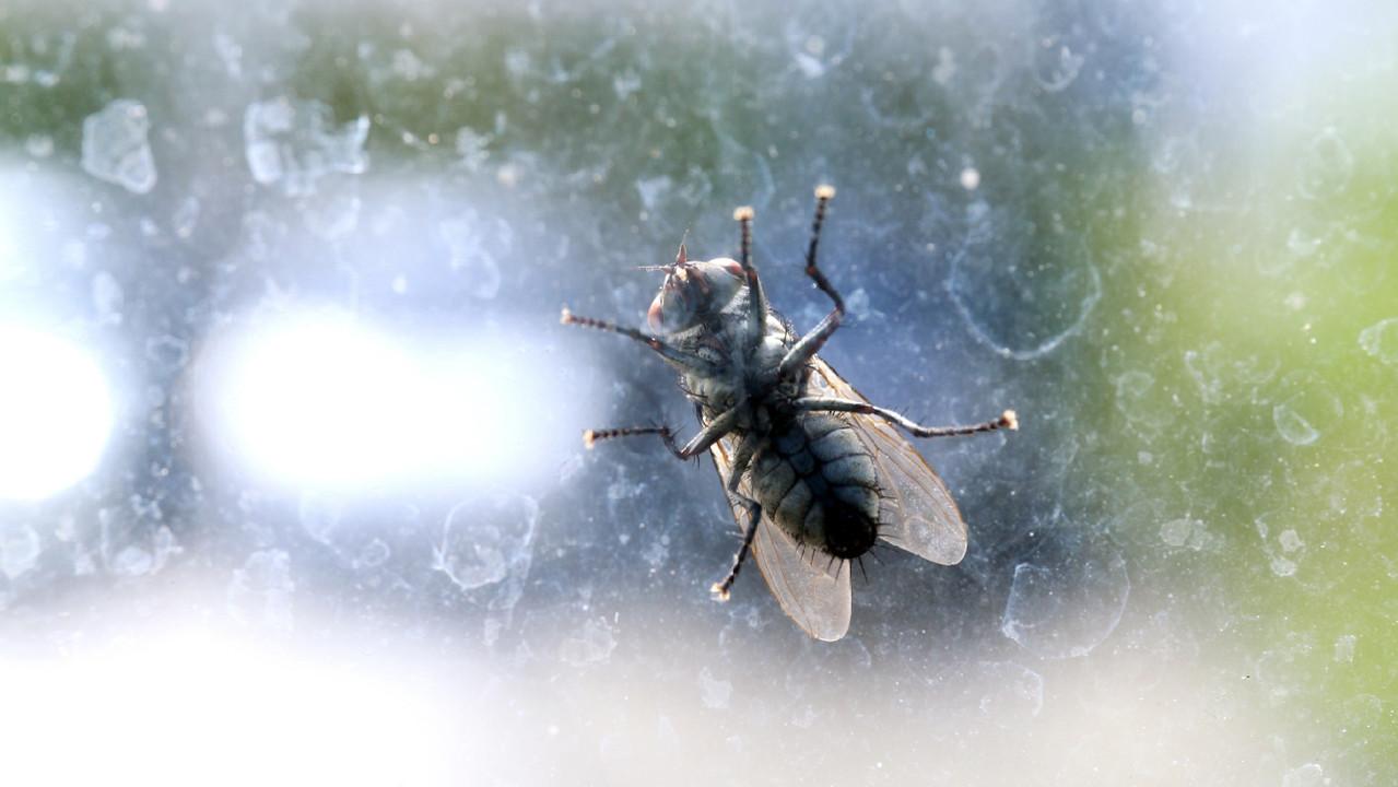 Комнатные мухи могут переносить SARS-Cov-2 в течение 24 часов