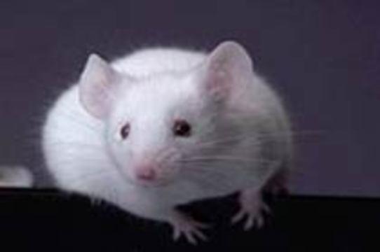 Американцы научились [лечить миотоническую дистрофию у мышей]