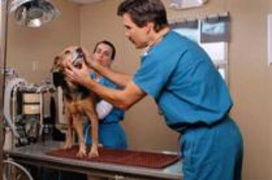 По США распространяется опасный вирус собачьего гриппа