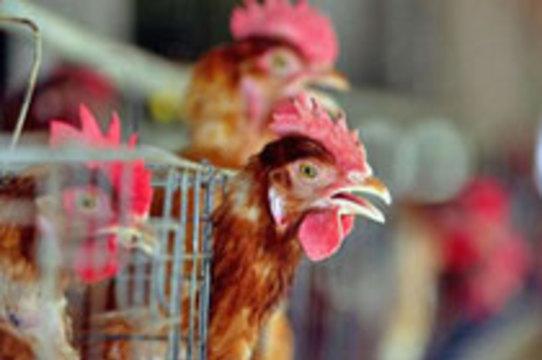 В столице Турции зафиксированы три случая заболевания птичьим гриппом