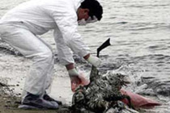Лебеди занесли птичий грипп на территорию Германии