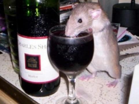 Крыс вылечили от алкоголизма [с помощью иммунодепрессанта]
