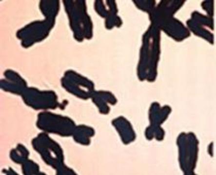 Полностью расшифрована женская половая хромосома