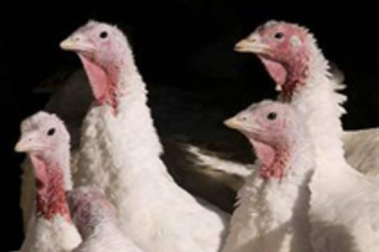 В Чехии обнаружен опасный для человека вирус птичьего гриппа