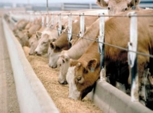 Вместо антибиотиков домашний скот [будут кормить пробиотиками]
