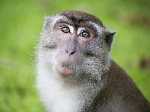 Как говорили бы обезьяны, если бы могли говорить