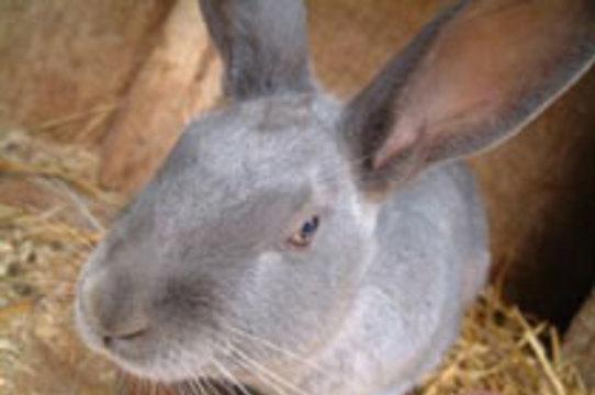 Кастрированным кроликам вырастили искусственные пенисы