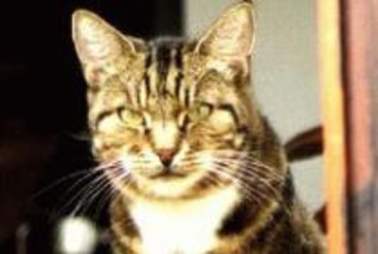 Разносить SARS могут домашние кошки