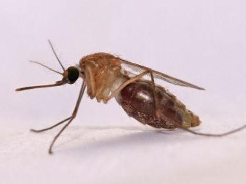 Американские ученые [лишили комаров способности переносить малярию]